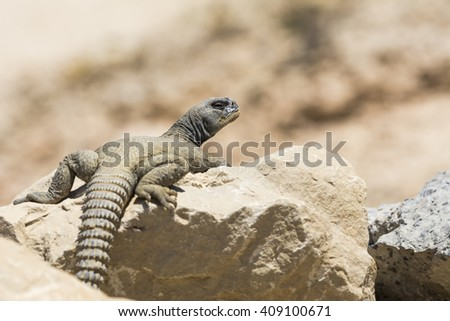 Arabian spiny tailed lizard on a rock in oil field - Bahrain