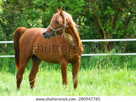 Arabian stallion - stock photo