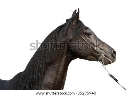 Arabian stallion on white background - stock photo