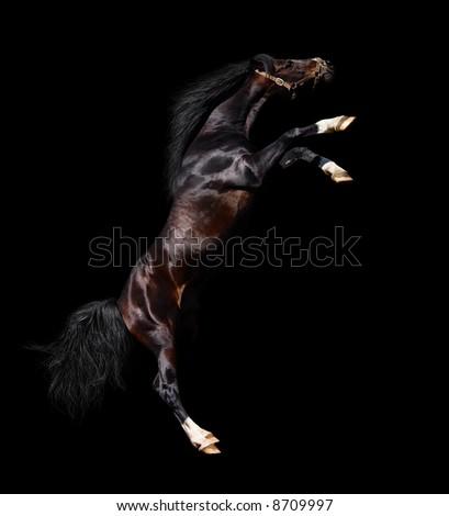 arabian stallion rears - isolated on black - stock photo