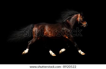 arabian stallion trots - isolated on black - stock photo