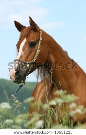 Arabian stallion with show halter behind flowers - stock photo