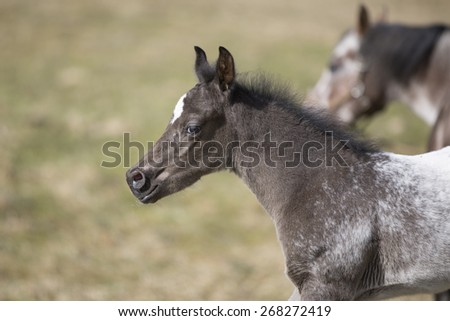 Arabian Thoroughbred Colt