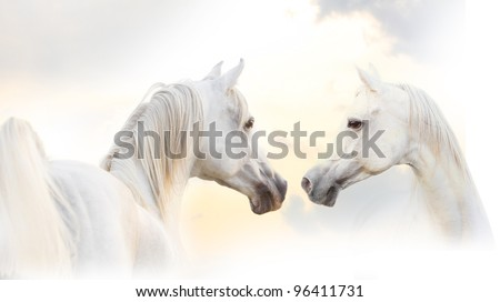 arabian white horse - stock photo