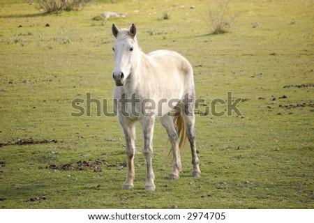 Arabian White Mustang - stock photo
