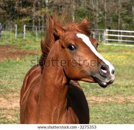Arabian yearling colt with mane flying - stock photo