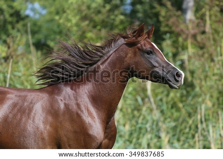Arabian young horse galloping on pasture against green reed - stock photo