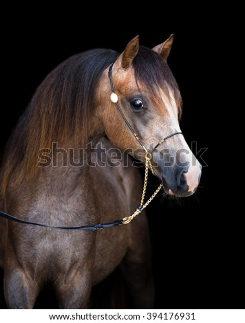 Arabian young horse isolated on black background - stock photo