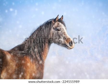 Arabian young stallion in winter snowfall - stock photo