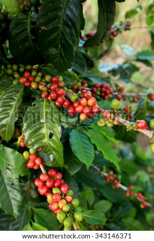 Arabica coffee beans on coffee tree in Northern Thailand - stock photo