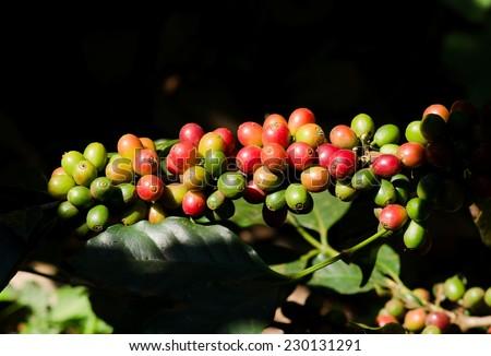 Arabica Coffee berries on tree - stock photo