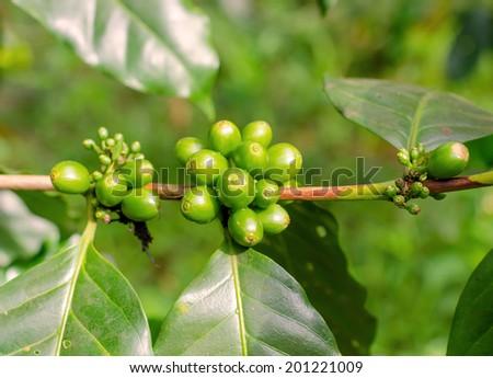Arabica, Robusta tree in Coffee plantation in laos. - stock photo