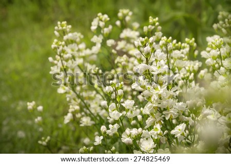 Arabis caucasica (Brassicaceae) or rock cress. Romantic beautiful garland with lush small soft terry pale milky flowers. View close-up with space for text on green grass - stock photo