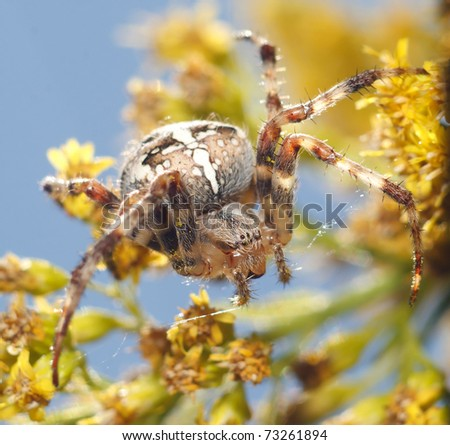 araneus diadematus sitting on a flower in a sunny spring day - stock photo
