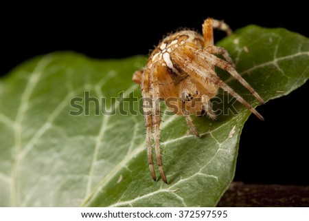 Araneus on the leaf