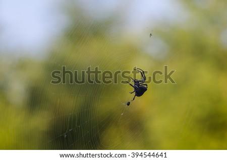 Araneus spider (Araneus diadematus) - stock photo