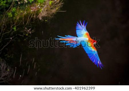 Arara Azul, brazilian rare bird flying over a river on Bonito, Mato Grosso do Sul, Brazil. - stock photo