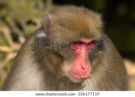ARASHIYAMA - OCTOBER 25 : Japanese macaque on 25 October 2015. Arashiyama, Japan. Japanese macaque is the only species of monkey living in Japan and it is endemic to the Japanese archipelago. - stock photo