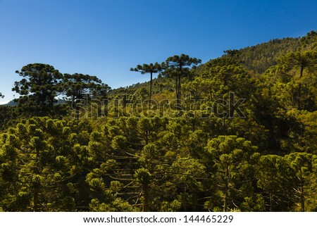 Araucaria tree forest under a blue sky in Minas Gerais, Monte Verde. - stock photo