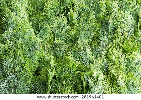 Arborvitae leaves background with a closely packed layer of evergreen fronds or foliage from the Thuja tree, a popular ornamental Arborvitae grown in many gardens - stock photo