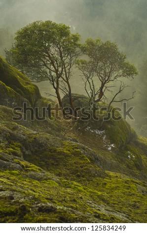 Arbutus tree in the fog on hillside - stock photo
