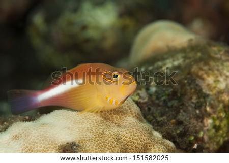 Arc-eye Hawkfish (Paracirrhites arcatus) resting on a tropical coral reef in Bali, Indonesia. - stock photo