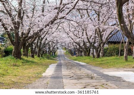 Arch of Japanese sakura blossom  - stock photo
