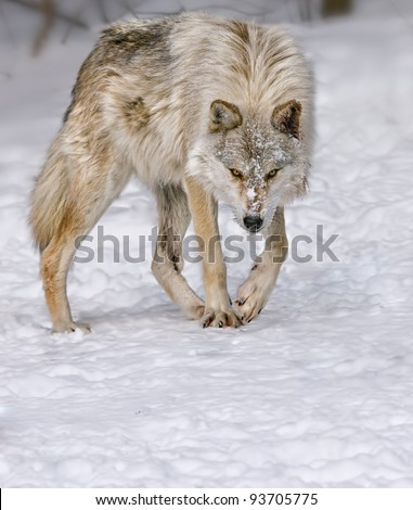 Arch Wolf - stock photo