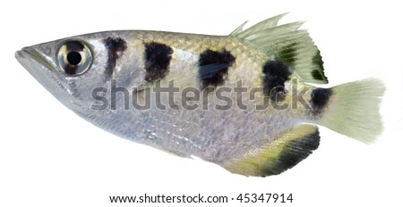 Archerfish isolated in white background. (Toxotes Jaculator)