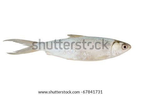 Arctic cisco, fish of salmon family, isolated