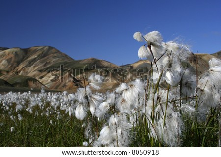 arctic cotton flowers with mountain site in the background - stock photo