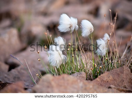 Arctic cotton grass in the Highland of Iceland - stock photo