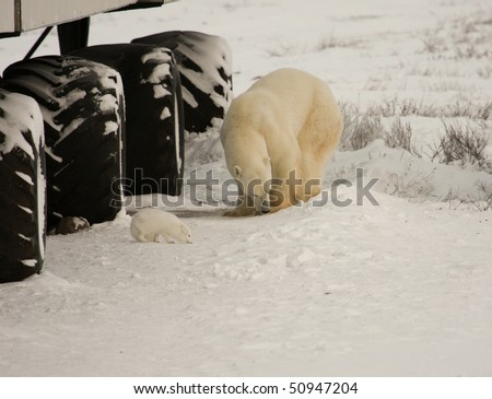 Arctic fox and a healthy polar bear share space looking for food by a tundra buggy - stock photo