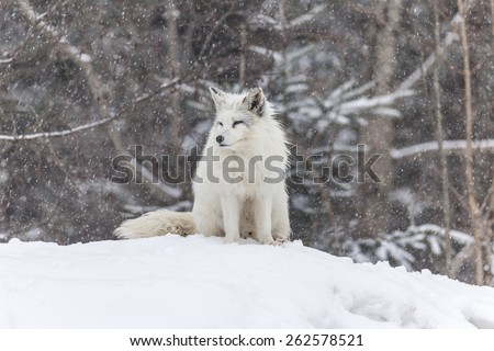 Arctic fox at play in a winter landscape - stock photo