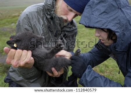 Arctic Fox being examined, Sweden.