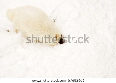 Arctic fox buries the meat to the snow for a reserve. - stock photo