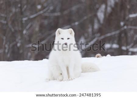 Arctic Fox in a winter scene - stock photo