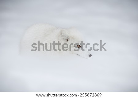 Arctic fox in deep snow filled landscape - stock photo
