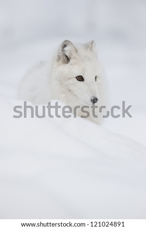 Arctic Fox in its fluffy white winter coat, with snow flakes on its nose. Listening for prey moving under the snow is something these foxes do constantly. - stock photo