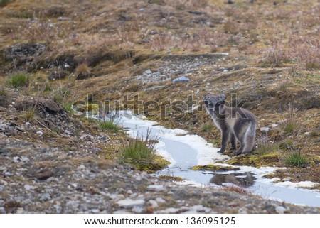 Arctic fox in Svalbard Spitzbergen Island - stock photo