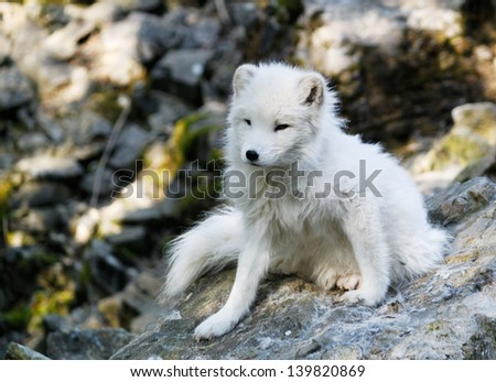 Arctic fox in the forest - stock photo
