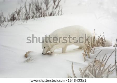 Arctic fox in the snow near Churchill, Manitoba - stock photo