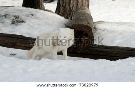 Arctic fox  in winter - stock photo