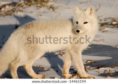 Arctic Fox near Churchill Manitoba - stock photo