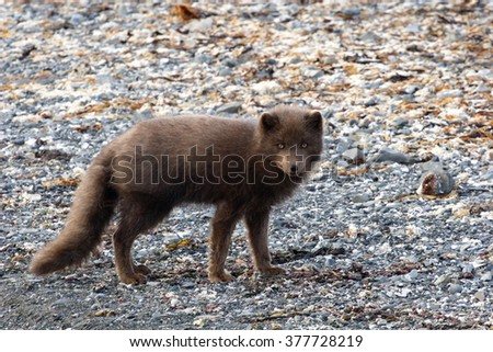 arctic fox of Commander Islands (Aleutian archipelago)