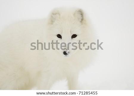 Arctic Fox portrait in deep snow - stock photo