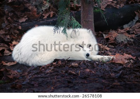 Arctic fox resting on wet leaves - stock photo