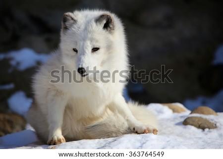 Arctic Fox Sitting in Snow - stock photo