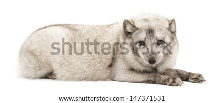 Arctic fox, Vulpes lagopus, also known as the white fox, polar fox or snow fox, lying, isolated on white  - stock photo