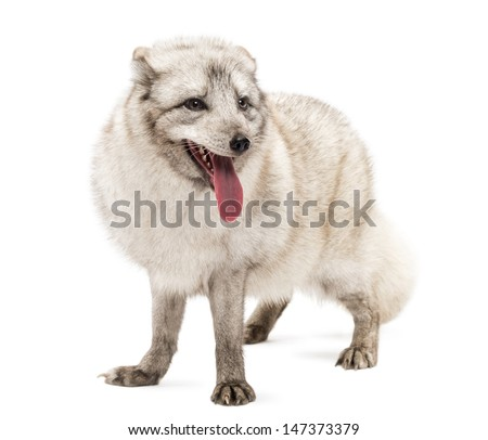 Arctic fox, Vulpes lagopus, also known as the white fox, polar fox or snow fox, standing, panting, isolated on white  - stock photo